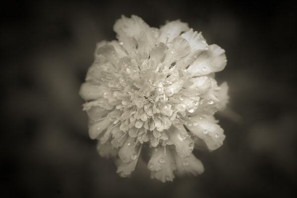 Brownflower photo