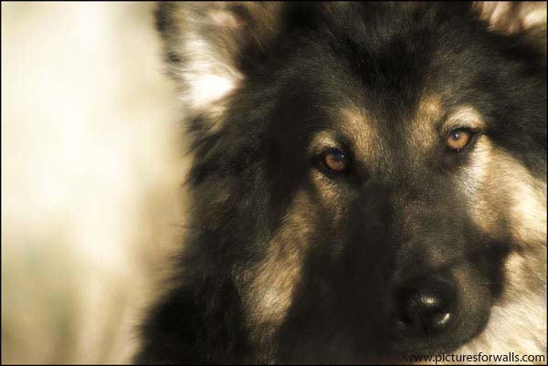 Alsatian photo