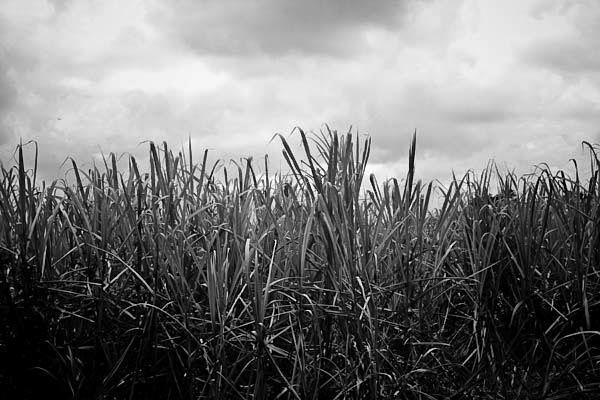 sugarcane print for sale