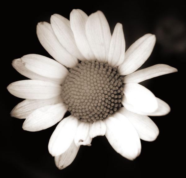 bigdaisy black and white photography