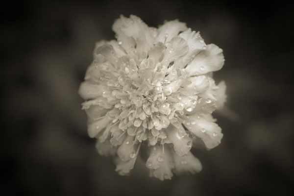 brownflower  -  black and white photography for sale