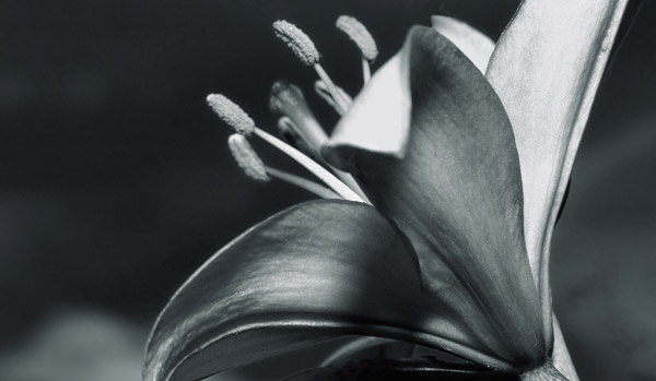 gardenlily  -  black and white photography for sale