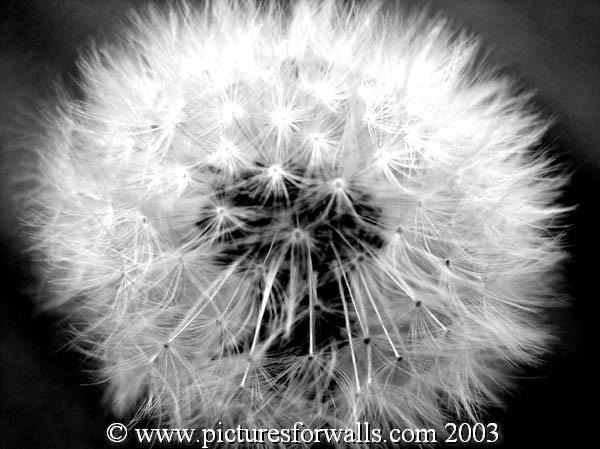 seeds  -  black and white photography for sale