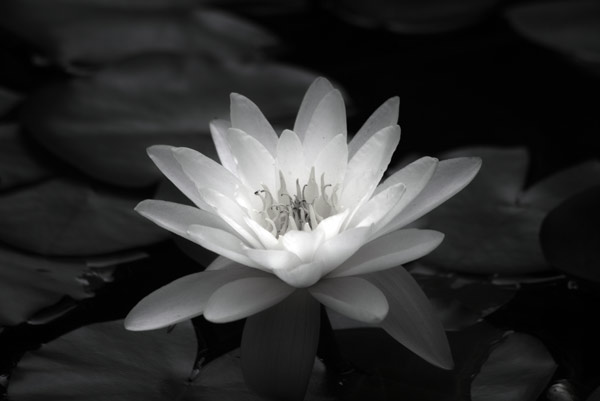 waterlily  -  black and white photography for sale