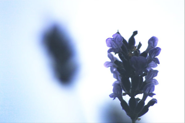 lavender black and white photography