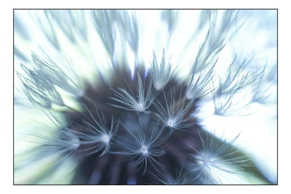 seedhead black and white photography