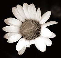 bigdaisy - Black and White