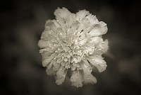 brownflower - Black and White