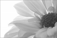 petalsandfolds - Black and White