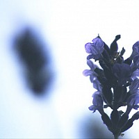 lavender - lavender by m a andrew -  photograph for sale