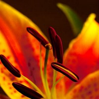 thelily - the lily by m a andrew -  photograph for sale