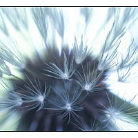 seedhead - black and white photography for sale