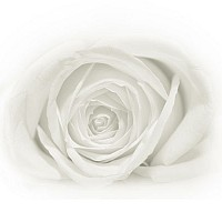 whiterose - White Rose Macro Study. This print is a limited edition of fifty. -  print for sale
