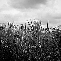 sugarcane - Plantation of Sugar Cane. Barbados used to produce an awful lot of sugar. Whilst it still produces sugar today, it is not as popular as it once was.  -  print for sale