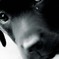 blacklab - black and white photography for sale