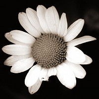 bigdaisy - black and white photography for sale