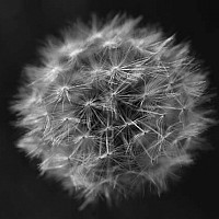 delicate - black and white photography for sale