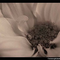 flowermacro - black and white photography for sale