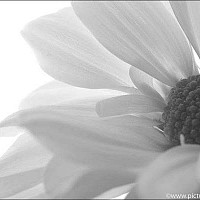 petalsandfolds - black and white photography for sale