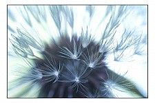 seedhead black and white photography for sale
