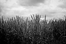 sugarcane black and white photography for sale